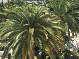 orange county palm tree trimming photo 2