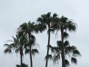 orange county palm tree trimming maintenance